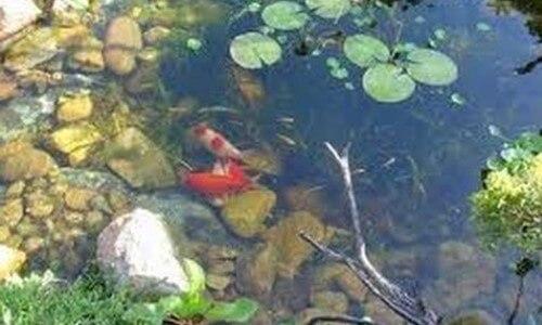 Los peces de un estanque natural