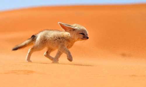 qué animales viven desierto sahara