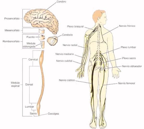 cuáles son las partes del sistema nerviso