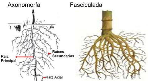 características y partes de las raíces