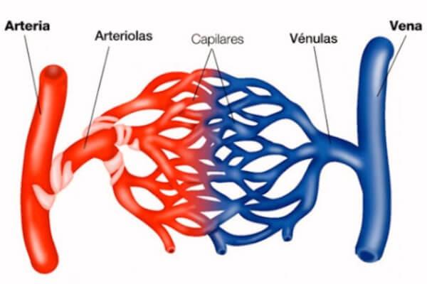 diferencia entre vena y artería