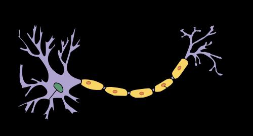 ¿Qué son las neuronas y dónde se encuentran?