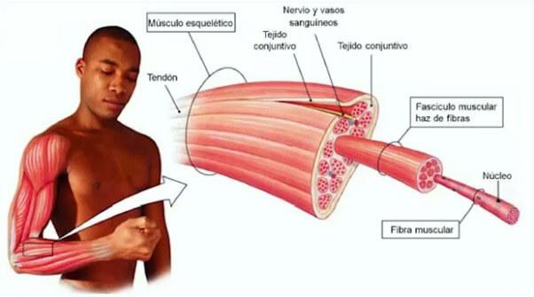 partes de un músculo