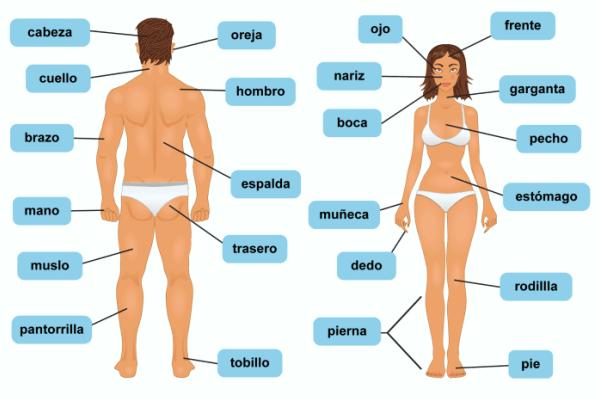 cómo son las partes del cuerpo humano