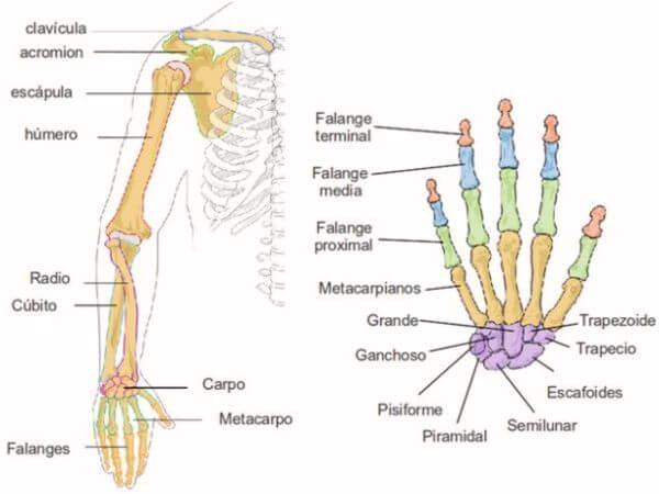nombre de los huesos del brazo y la mano