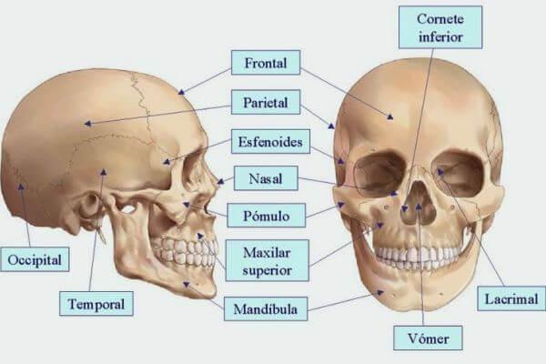 cuáles son los huesos de la cabeza