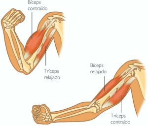qué son los movimientos musculares