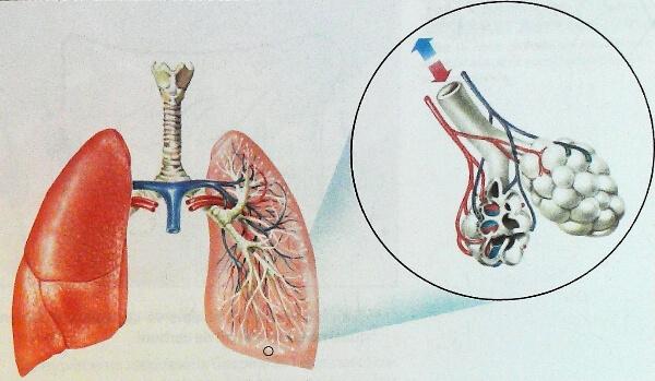 características de los pulmones