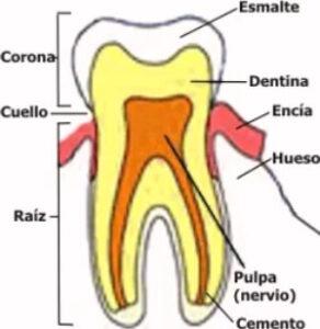 cómo es un diente por dentro