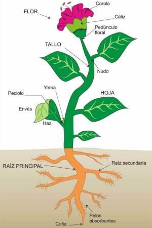 cuáles son las partes de una planta