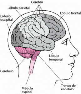 ¿Qué es el encefalo y sus funciones?