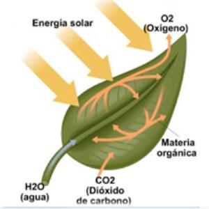 cómo fabrican el alimento las plantas