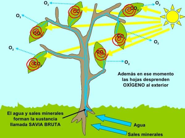 cómo funciona la fotosíntesis