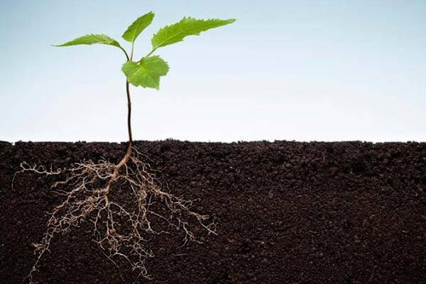 cómo absorben el agua las raíces