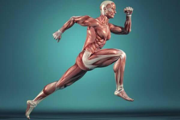 músculos y sus características
