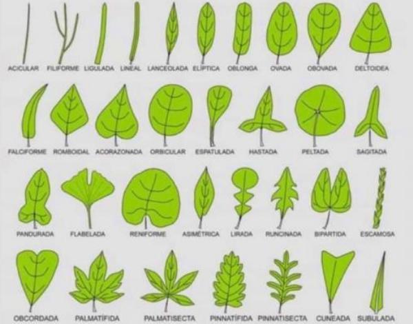 Partes de las hojas