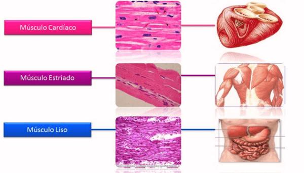 cuántos tipos de músculo existen