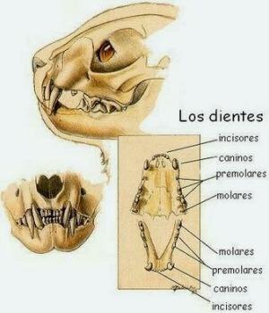 cómo son los dientes de los carnívoros