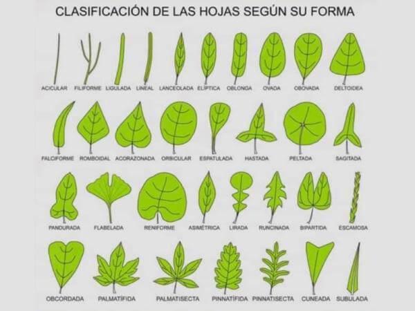 cómo se clasifican las hojas
