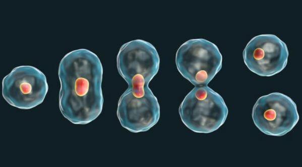 cómo se reproducen las células